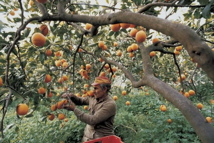 Сбор урожая цитрусовых насезонныхработах в Испании