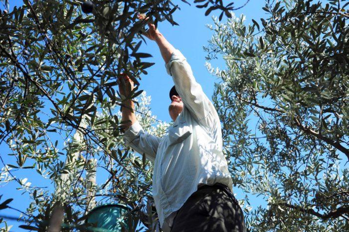сбор оливок в Греции