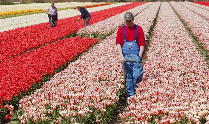Работа на цветочных плантациях в Нидерландах