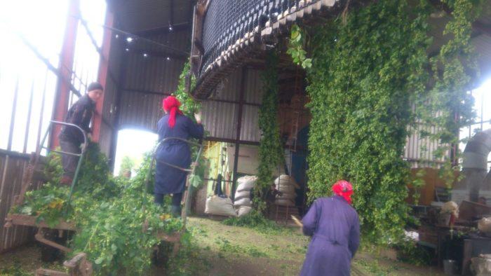 Сбор хмеля в Словакии