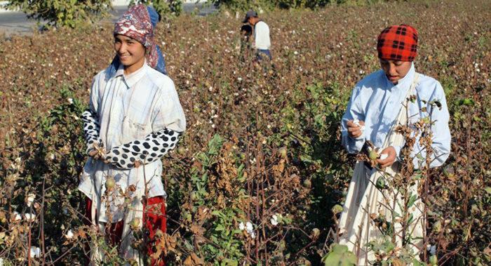 Сбор хлопка в Узбекистане