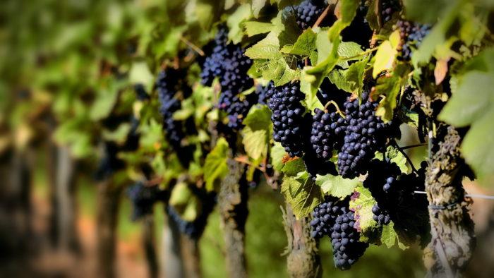 Виноградник в Молдавии