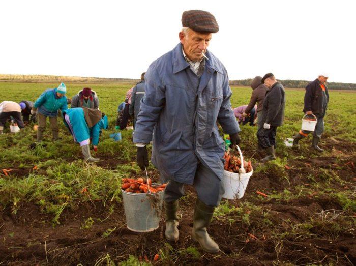 Сбор урожая на полях Италии