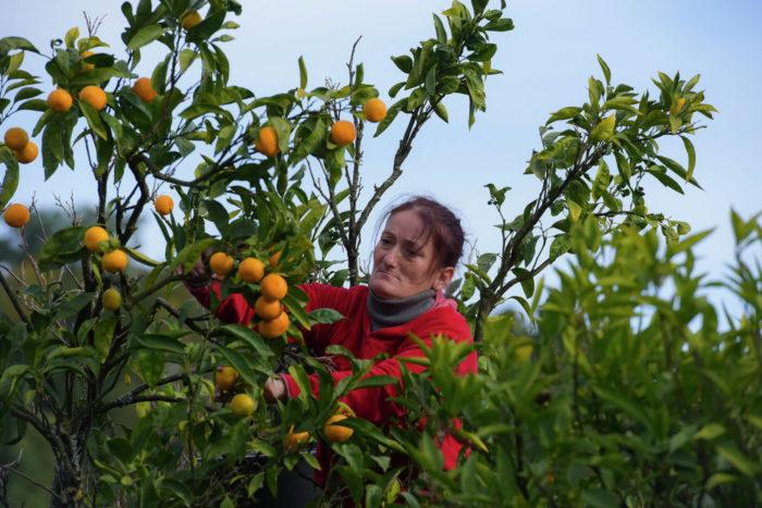 Сбор мандаринов в Абхазии