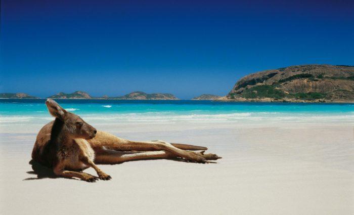 Кенгуру на пляже Австралии
