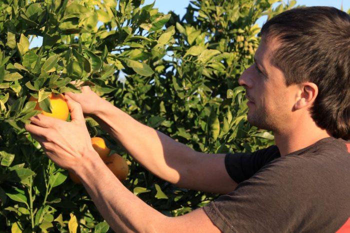 Работник на плантации цитрусовых в Испании