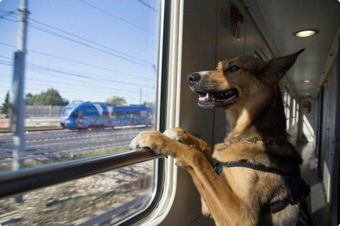 Собака смотрит в окно в поезде