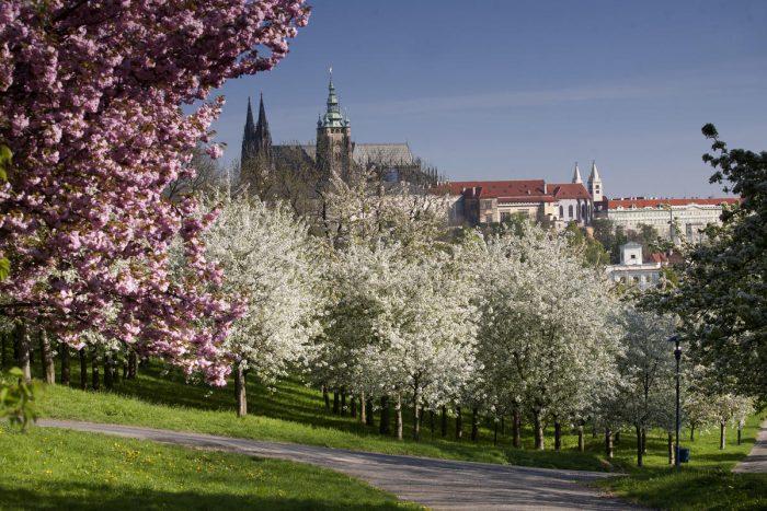 Деревья в цвету на фоне собора св.Вита