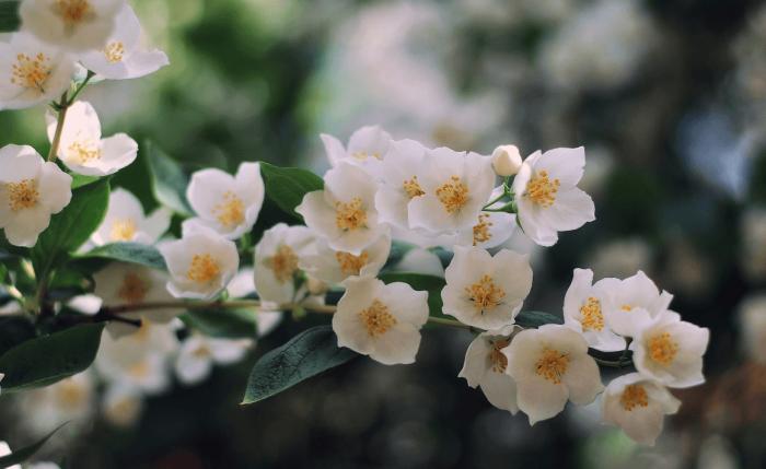 Жасмин цветёт