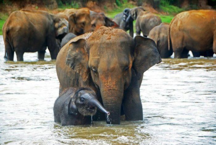 Купание слонов в питомнике Пиннавелы на Шри-Ланке