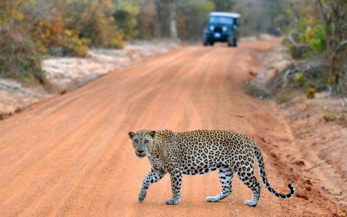 Цейлонский леопард в парке Яла