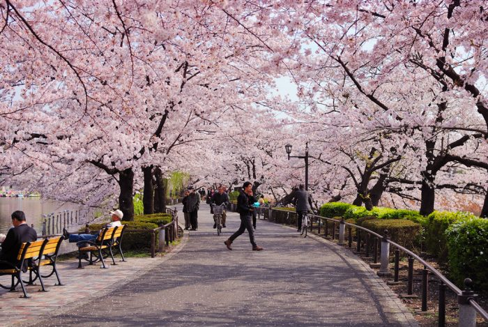 Цветущая сакура в парке Уэно
