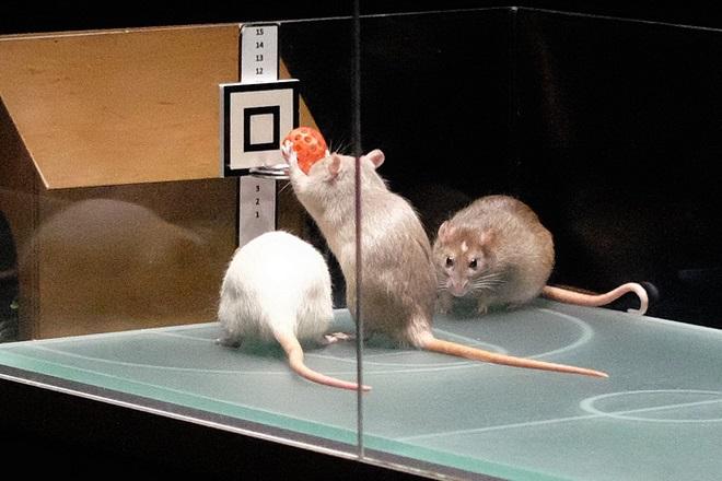 Крысы-баскетболисты