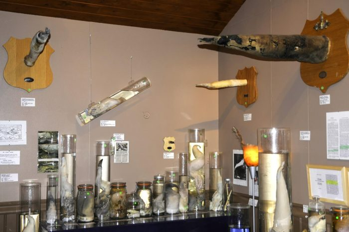 Экспонаты Фаллологического музея Исландии