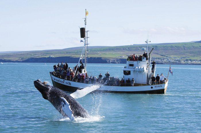 Голубой кит выпрыгивает из воды рядом с баржей в Исландии
