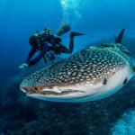Дайвер плывёт рядом с акулой под водой