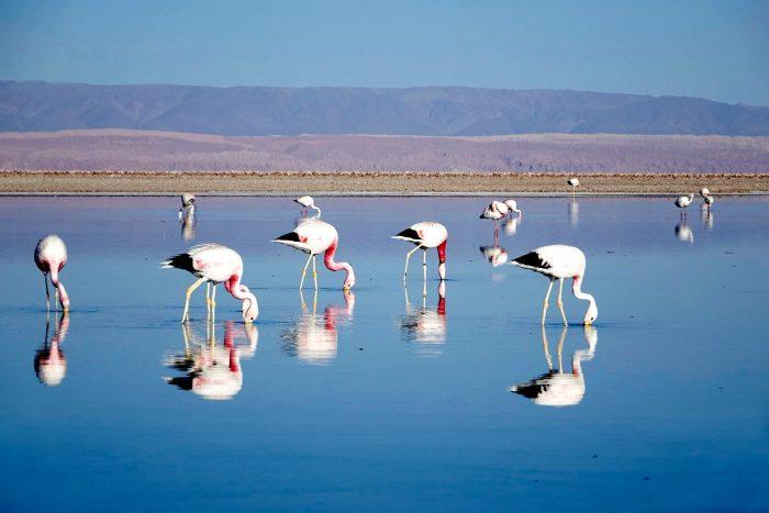 Фламинго в солёном озере Салар-де-Сурире