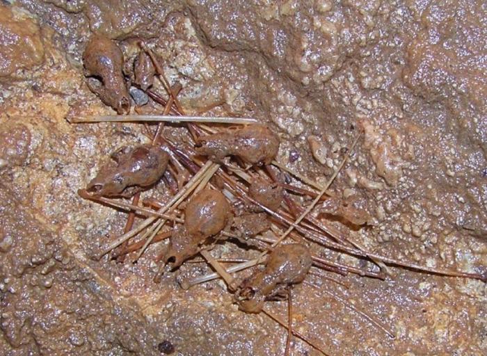 Окаменелые кости летучих мышей на стенах пещеры
