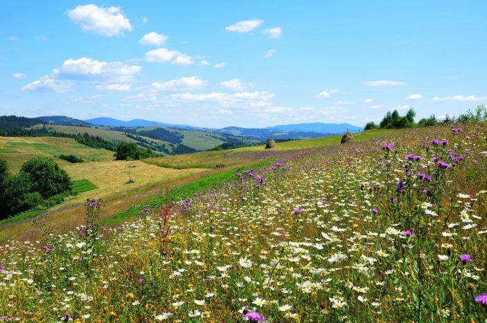 Цветущие луга Национального парка «Полонины»