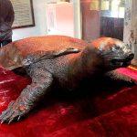 Чучело священной черепахи